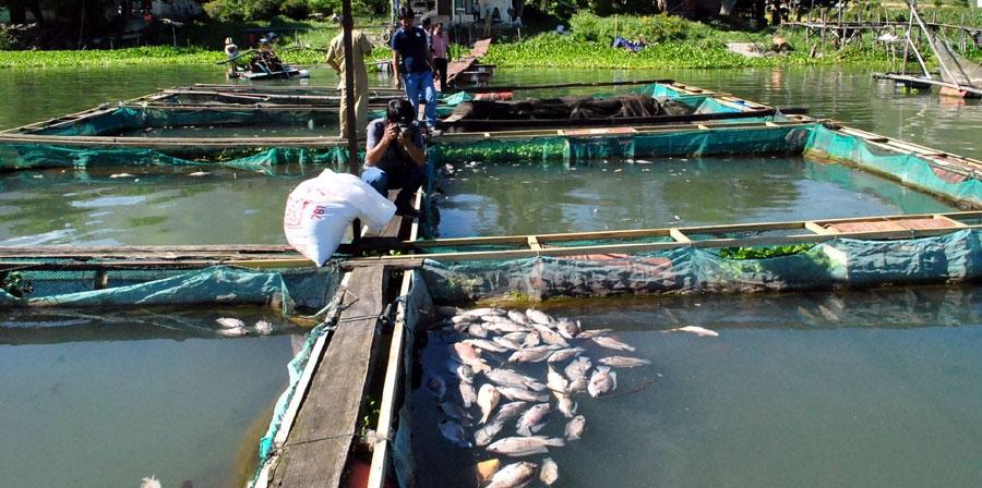 Foto: Bernard L Gaol/New Tapanuli/SMG Bangkai ikan di KJA milik warga Tipang, Kabupaten Humbahas, tampak mengambang. Secara tiba-tiba, puluhan ton ikan di lokasi ini bermatian. Kondisi yang sama juga terjadi di Muara, Taput.