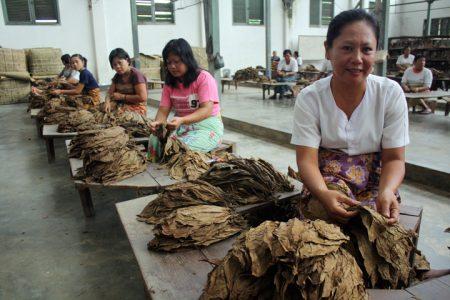 TRIADI WIBOWO/SUMUT POS--sejumlah pekerja sedang memilah daun tembakau deli di gudang tembakau Klumpang , Deli Serdang. senin (6/5)