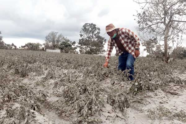 RUSAK: Anggota DPRD Karo, Imanuel Sembiring melihat tanaman kentang milik warga yang rusak akibat debu vulkanik, Selasa (11/8). Pemprovsu akan memberi bantuan bibit kepada petani di Karo yang terdampak abu vulkanik Sinabung.