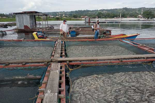 IKAN MATI: Petani ikan nila di Desa Siogung-ogung, Kecamatan Pangururan, Kabupaten Samosir, menyaksikan ikannya yang mati di keramba jaring apung (KJA). Sedikitnya 109 ton ikan di 38 KJA mati diduga karena kekurangan oksigen.
